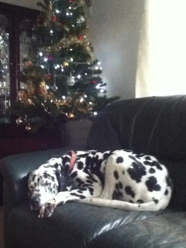 Sleeping Dalmatian by a Christmas tree