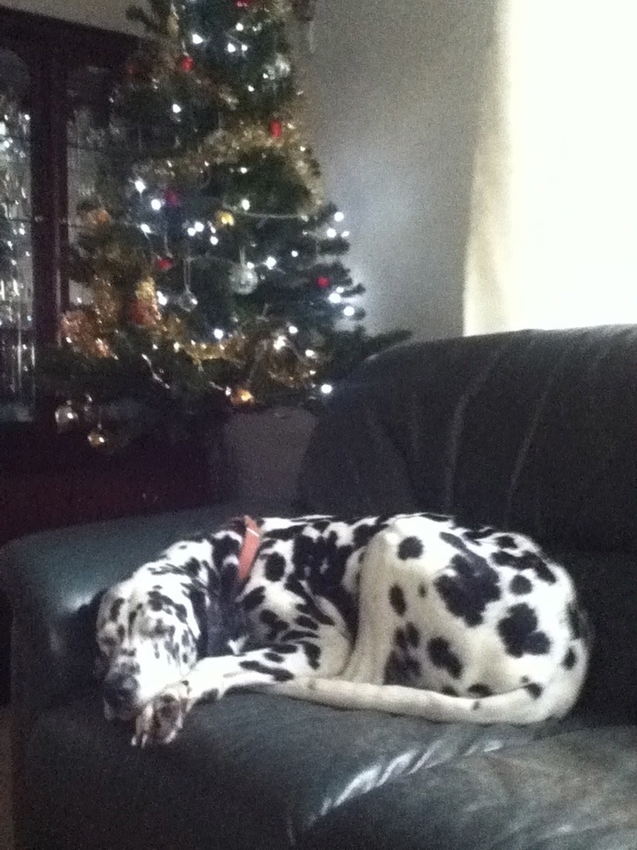 Sleeping Dalmatian by a Christmas tree